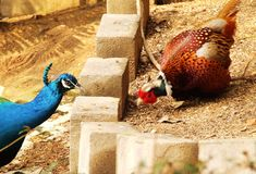 Fowls. Chicken pecking behind wall of blocks or posts, peacock on other side.  The colors of both birds have contrast implying enemy status or differences, great Royalty Free Stock Photo