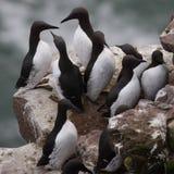 fowlsheugh海雀科的鸟 免版税库存图片