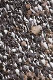 fowlsheughguillemot Arkivfoto