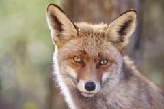 Fox头与geen背景 野生生物在森林里 库存照片