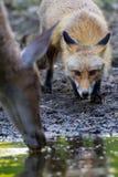 Fox和鹿 库存图片