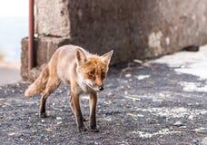 Fox在埃特纳火山自然公园  免版税库存图片