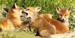 Fox在洞穴附近当幼童军咬住的白色使用 库存照片