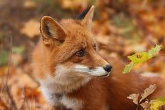 Fox在秋天森林里 免版税库存图片