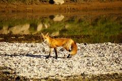 Fox在阳光下 库存图片