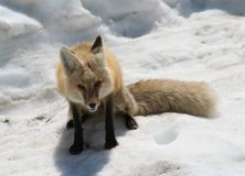 Fox在雪 免版税图库摄影