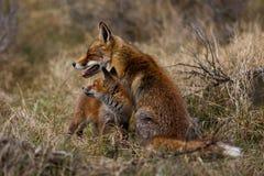 Fox母亲和崽 图库摄影