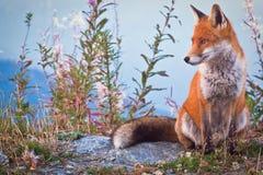 Fox的画象:一名友好的装腔作势者 免版税库存图片