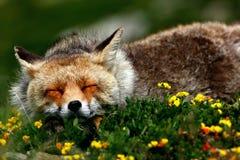 Fox睡觉 免版税图库摄影