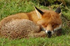 Fox睡觉 免版税库存图片