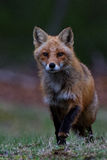 Fox追逐 免版税库存图片