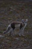 Fox ártico Foto de archivo libre de regalías