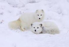 Fox ártico Imágenes de archivo libres de regalías