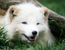 Fox ártico Fotos de Stock