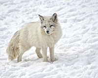 Fox ártico Imagens de Stock
