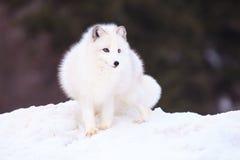 Fox ártico Fotografía de archivo