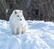 Fox ártico bajo Sun en invierno fotos de archivo libres de regalías