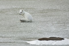 Fox ártico en capa del invierno, en alarma Fotos de archivo libres de regalías