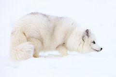 Fox ártico en nieve foto de archivo