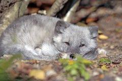 Fox ártico que descansa sobre el piso del bosque, capa del verano Fotos de archivo