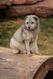 Fox ártico que se sienta en un registro Fotos de archivo
