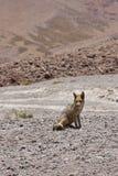 Fox близко к лагуне с птицами и пеликанами с красочным mounta стоковые изображения rf