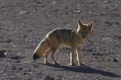 Fox в Андах Стоковая Фотография