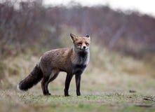 Fox в дожде Стоковые Изображения