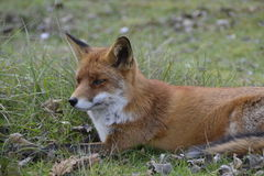 Fox в лесе в Нидерланд Стоковые Изображения