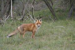Fox в лесе в Нидерланд Стоковая Фотография RF
