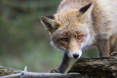 Fox в лесе в Нидерланд Стоковое Изображение RF