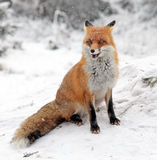 Fox в лесе на высоком Tatras, Словакии Стоковые Фотографии RF