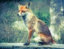 Fox в лесе на высоком Tatras, Словакии Стоковое фото RF