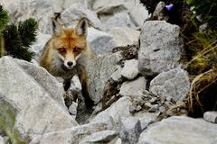 Fox в лисице лисицы сельской местности, высокое Tatras, Словакия стоковая фотография