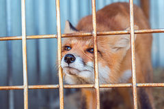 Fox в клетке Стоковая Фотография