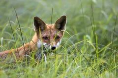Fox в одичалом Стоковое Изображение RF