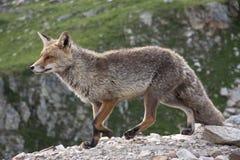 Fox в парке живой природы в Альпах Стоковая Фотография RF