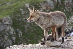 Fox в парке живой природы в Альпах Стоковое Изображение RF