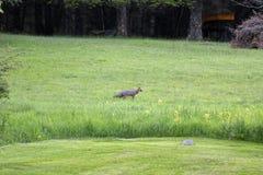 Fox в поле Стоковое Изображение