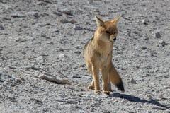 Fox в пустыне Стоковое Изображение RF