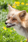 Fox в лужке Стоковое фото RF
