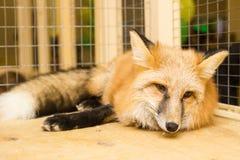 Fox в petting зоопарке Стоковое Фото