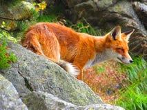 Fox горы стоковая фотография rf