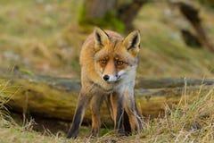 Fox (лисица лисицы) Стоковое фото RF