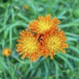 Fox и новички, цвести aurantiaca Pilosella Стоковое Изображение