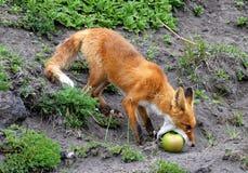 Fox и Яблоко Стоковые Фото