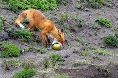 Fox и Яблоко Стоковое фото RF