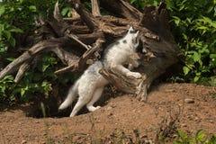 Fox мрамора (лисица лисицы) полагается на журнале Стоковые Изображения RF