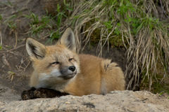 Fox младенца Стоковое фото RF