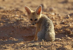 Fox накидки Стоковые Фото